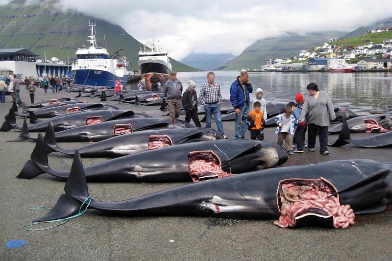 Delfinmassaker auf den Färöern