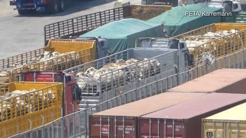 Zahlreiche Tiere werden in weit entfernte Schlachthäuser transportiert. / © PETA Deutschland e.V./Karremann