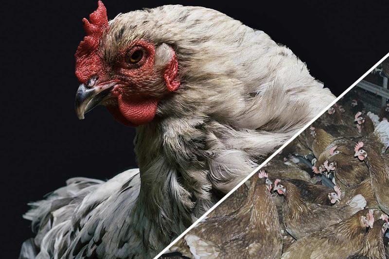 Dicht an dicht eingepfercht in stickigen, abgeschotteten Anlagen vegetieren die Tiere vor sich hin.