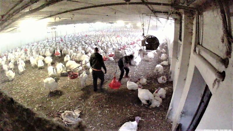 Pute erschlagen: Aufnahme im Putenstall im November 2020 Foto:Animal Rights Watch