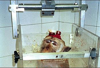 Affe mit Elektroden und Kopfhalter in einem Primatenstuhl. Foto: AESOP Project