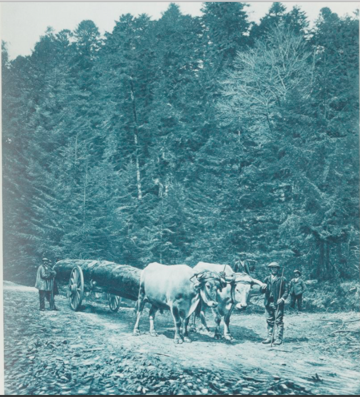 Dans la Forêt des Fanges, photo publiée dans le manuel de l'Arbre pour l'enseignement sylve-pastoral dans les écoles par Emile Cardot. 1933