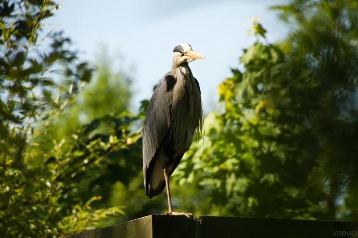 benu sonnenvogel | www.visovio.de fotografie & fotokunst |  fischreiher, bote,  benu, altesägypten, goetterbote, graureiher ba des osiris, ba des res