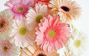 ガーベラの花言葉 希望、前向き