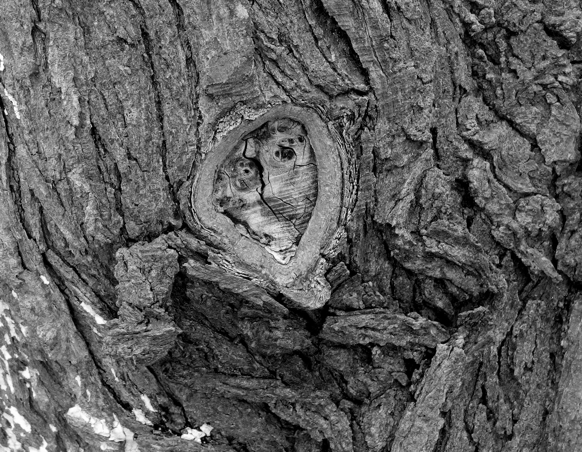 Giordanos Olivenholz-Olivenbäume