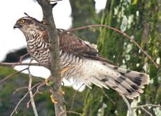 12. Januar 2017  1 Sperber verschreckt die Singvögel in Hans Riesenthals Garten.