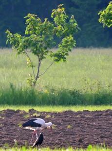 03. Juni 2017  1 Weißstorch wurde von Fam. Riesenthal in Unterdarching gesichtet.