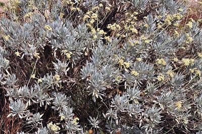 Guayule ( Parthenium argenatum A. Gray)