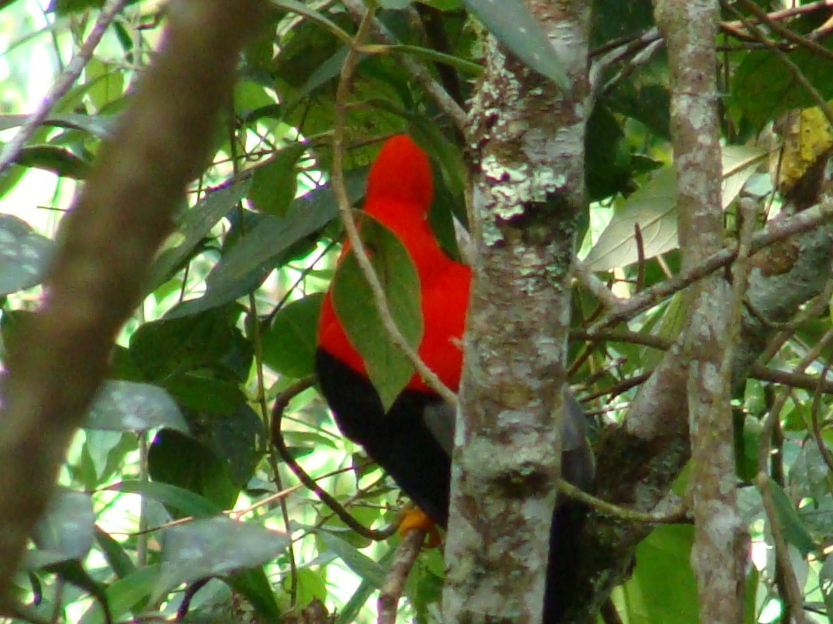 Rupicola Peruviana