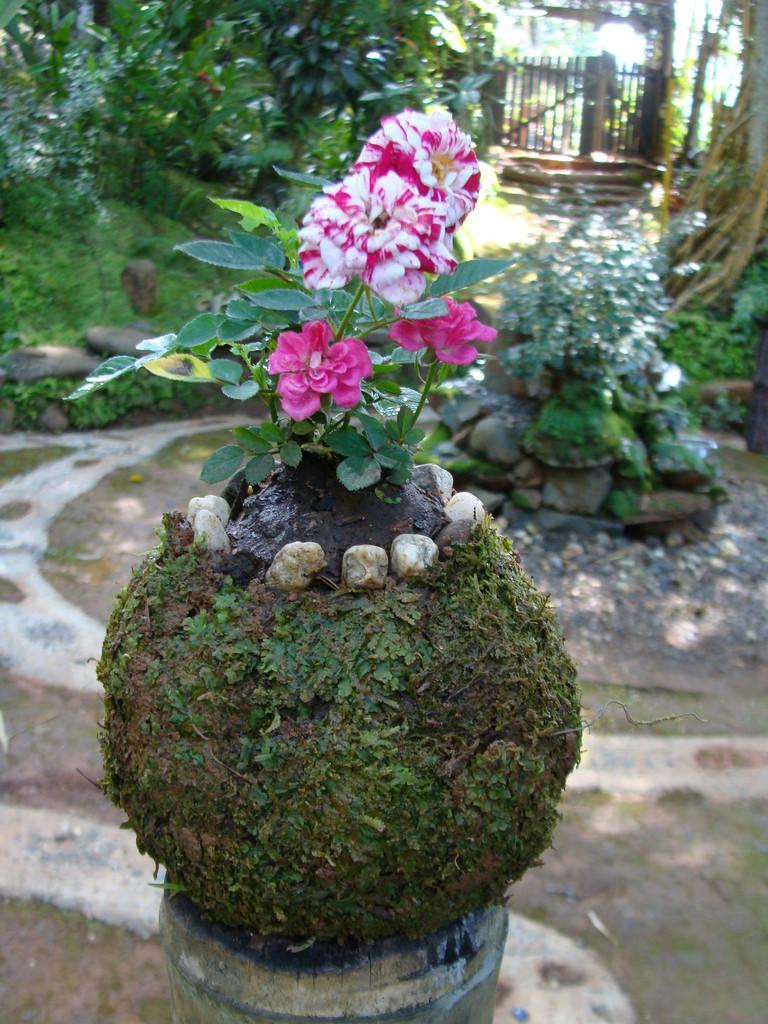 kokedamas,  técnica de cultivo en bolas de musgos.