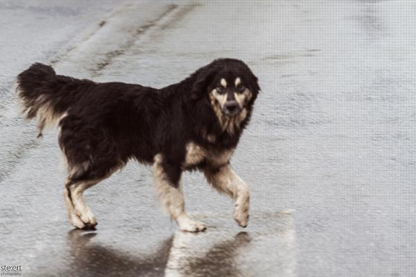 geisterhund