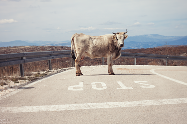 cow stop