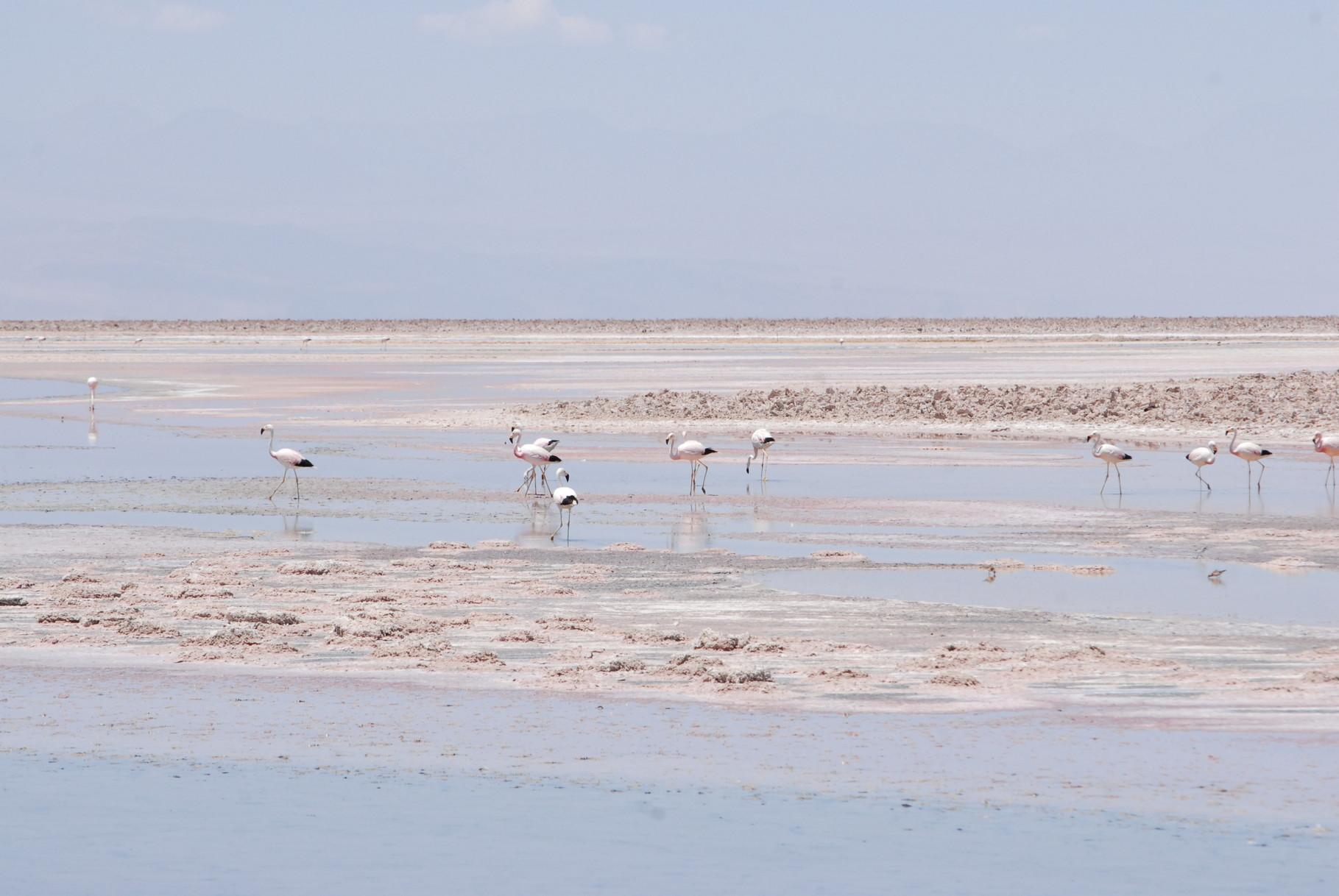 ... die Flamingos ...