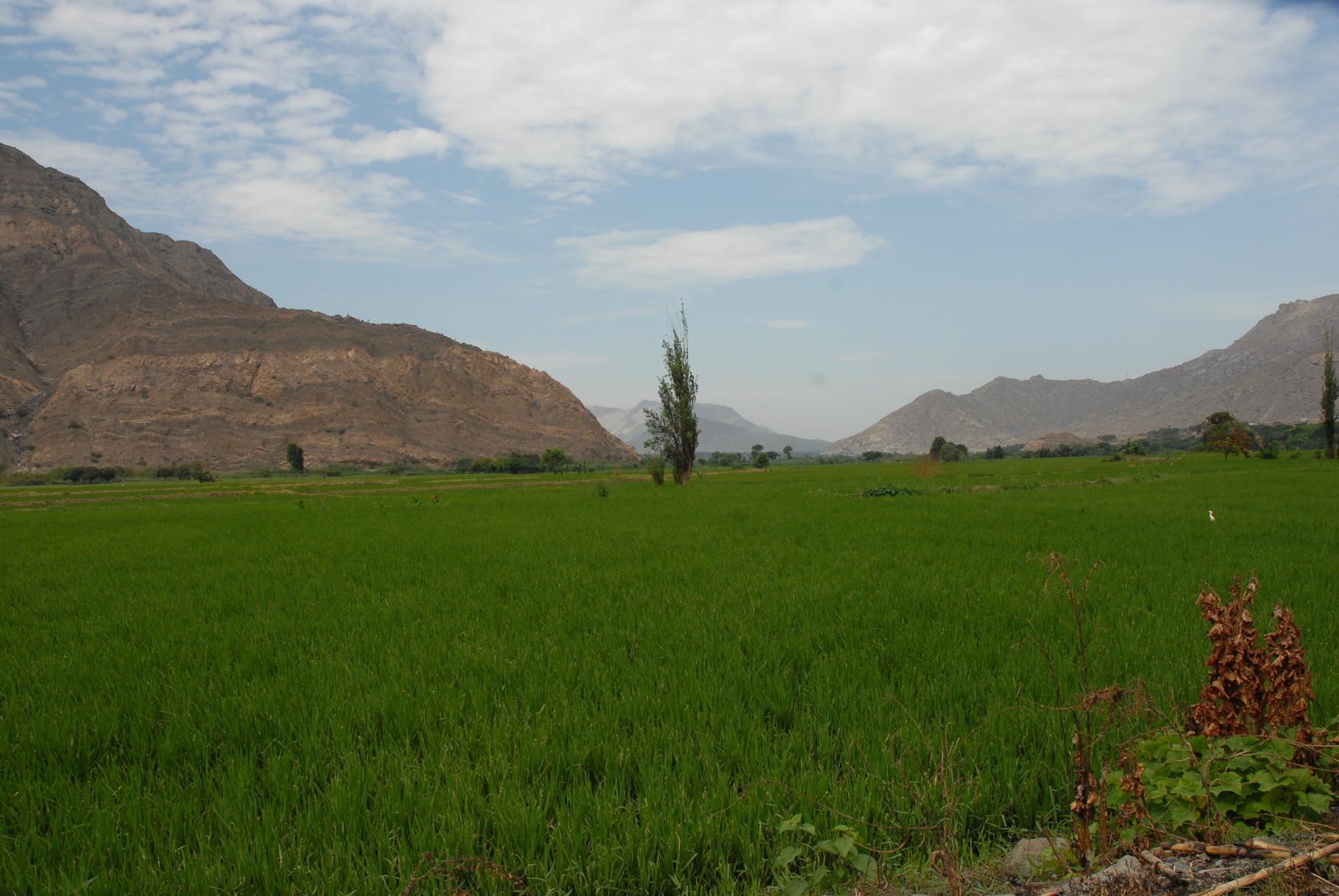 Von Chimbote hoch nach Cajamarca sieht man Reis, Reis, Reis ...