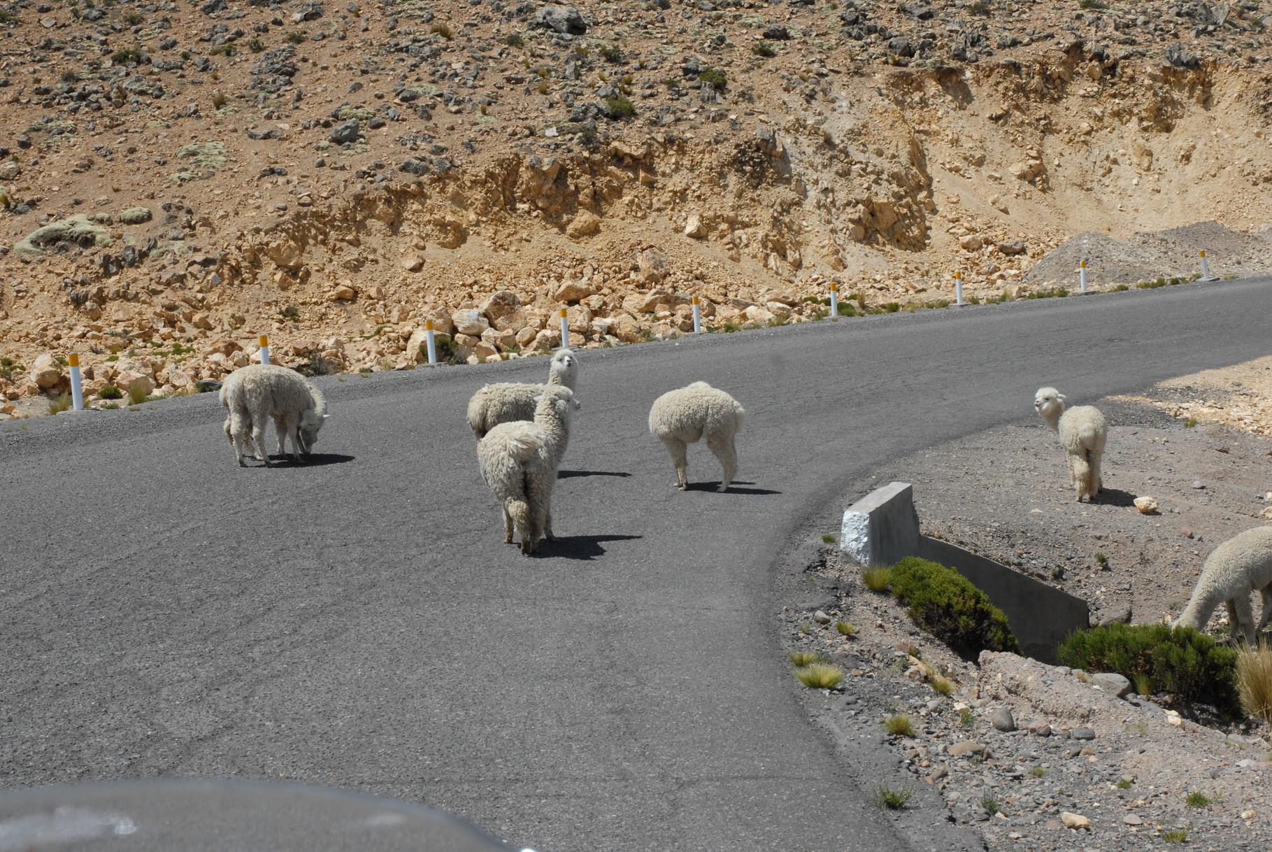 ... eine Herde Alpacas ...