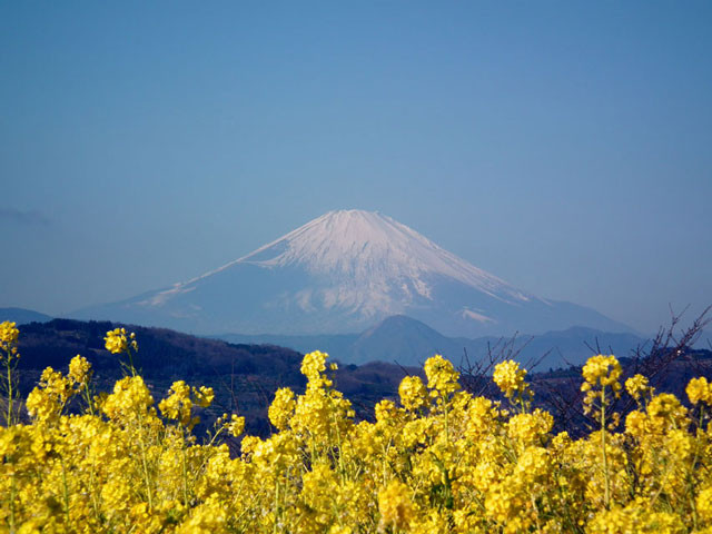展望広場の菜の花と富士山