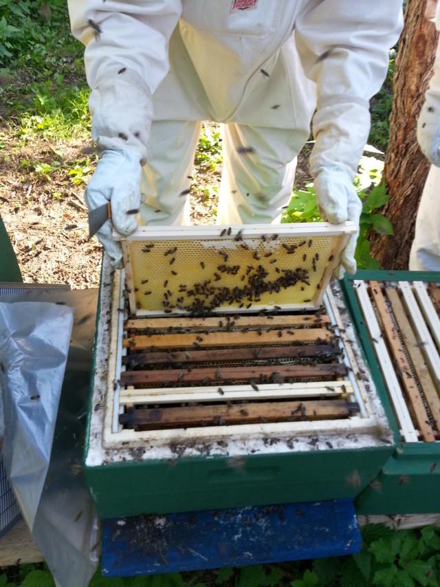 Honigwaben entnehmen