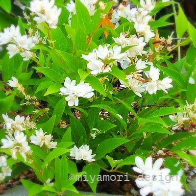 丘  ヒメウツギ:新緑の頃、真っ白な沢山の花が咲き、その美しさには目を奪われる