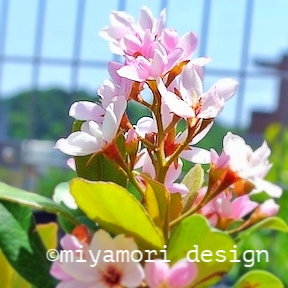 丘  ベニバナシャリンバイ:ピンクの可愛い花も楽しめる濃い常緑の緑は背景と目隠し役でもある