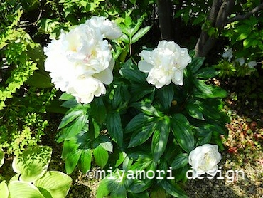 落葉樹の木陰にシャクヤクが咲いた©miyamori design