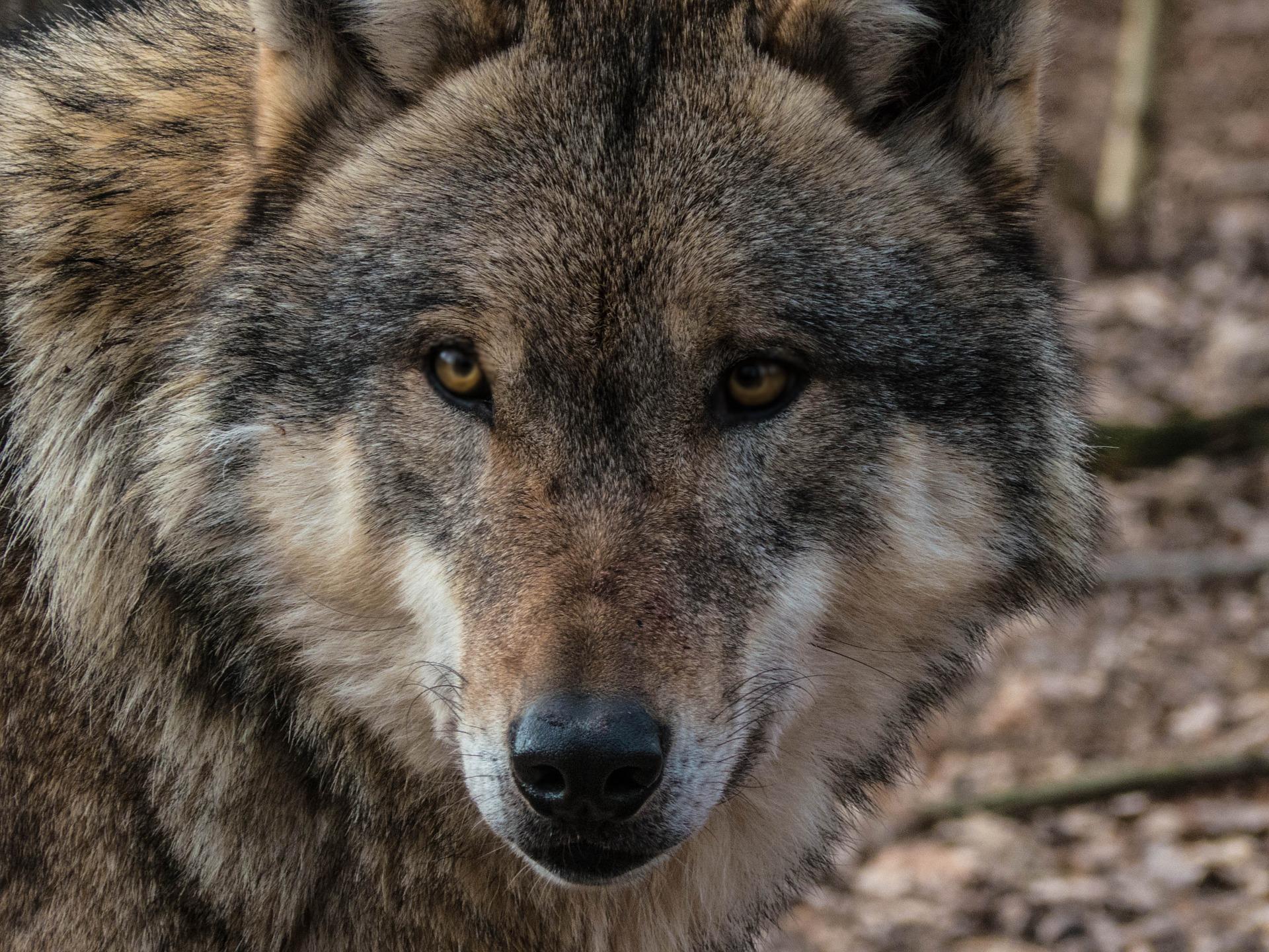 Was die Wölfe uns zu sagen haben...