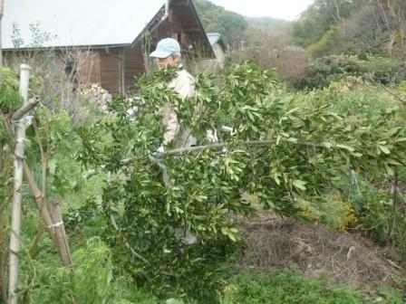 月桂樹が倒れた