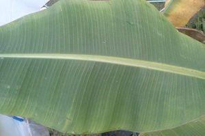 Blue Java Bananaの最上位葉の様相