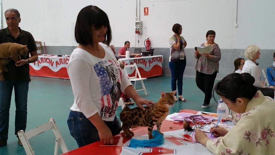Exposicion felina de Vic (españa) con Tomoko Vlach (juez AB)