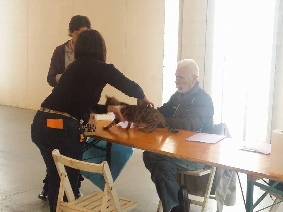 Exposicion felina de Manressa (españa) con Guy Gringet (juez AB)