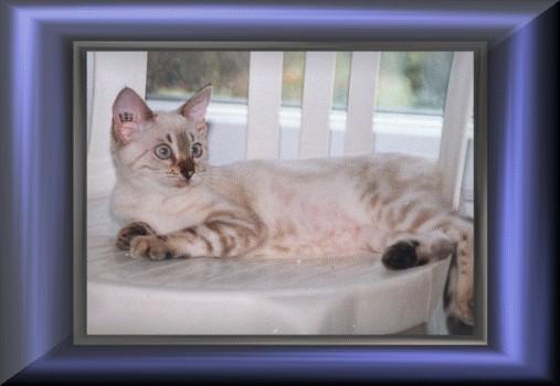 Gato leopardo de la nieve.Manekineko Penelope- 1999