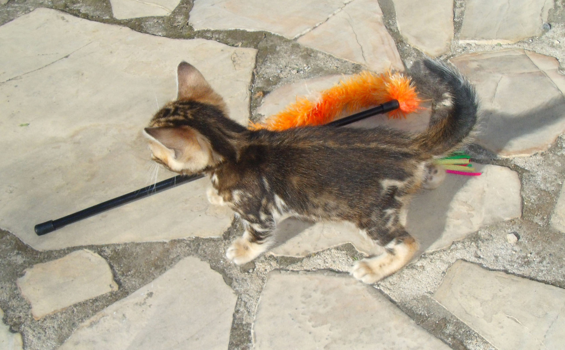 Manekineko juliette has a gun bengal female 2 months