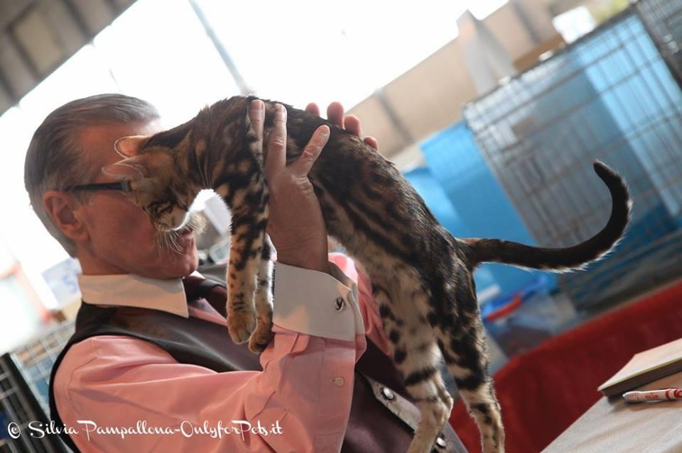 Juliette en el ring TICA del juez alberto leal en la exposicion felina de toulouse (francia)
