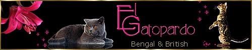 Bengal & British breeder en Agentina
