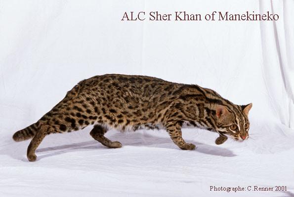 ALC Sher khan of Manekineko- gato leopardo asiatico.