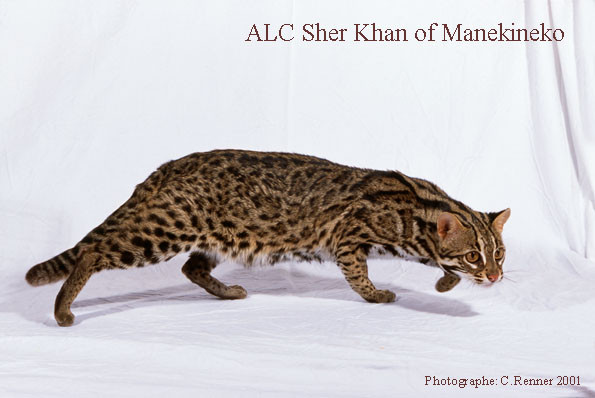 ALC Sher khan of Manekineko- gato leopardo asiatico.