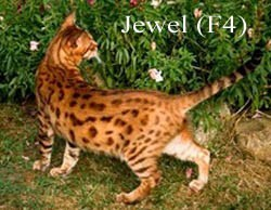 TARENTELA SHINING JEWEL (F4)