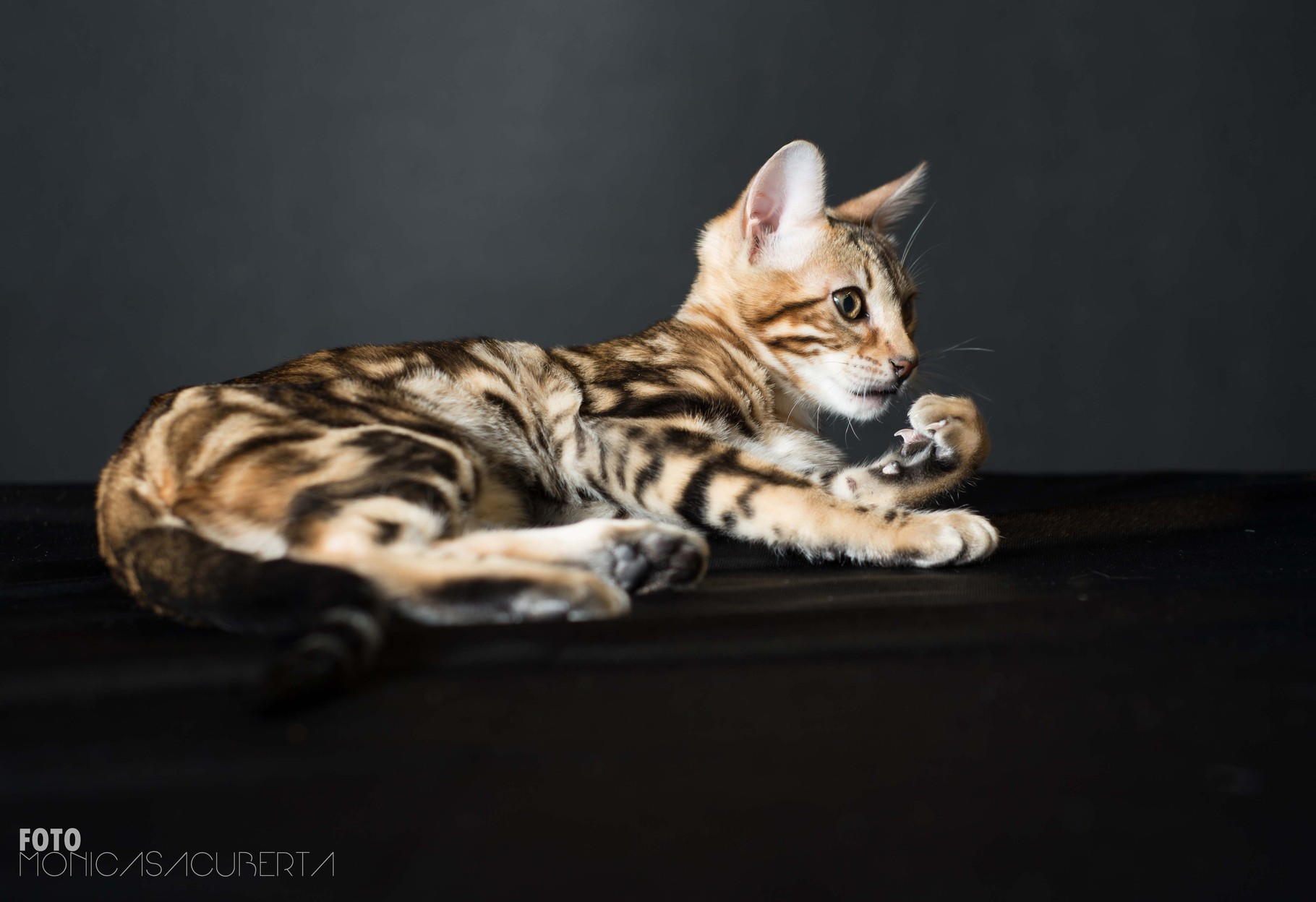 Manekineko juliette has a gun bengal female 4 months