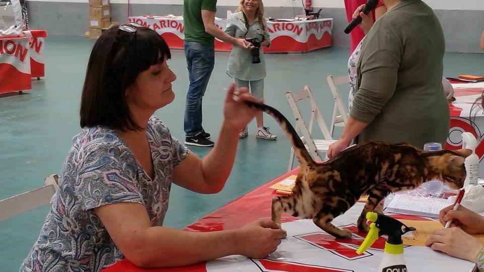 Exposicion feline de Vic (espagne) avec Mme Tomoko Vlach (juge AB) 31-05-2015
