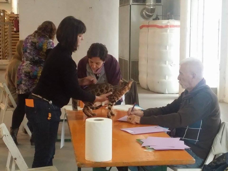 Manresa (BCN) exposicion internacional felina WCF 22 y 23/11/2014
