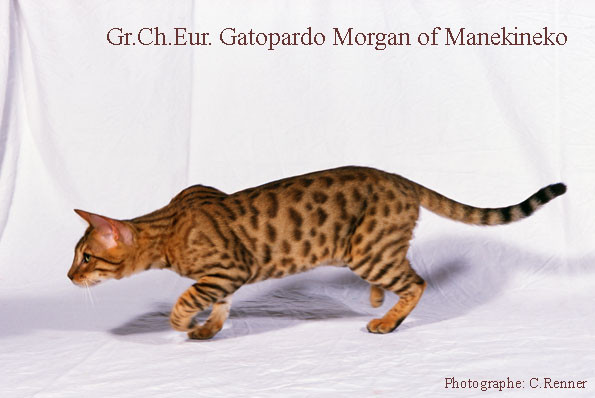 Gr.Ch.Europe gatopardo Morgan of Manekineko