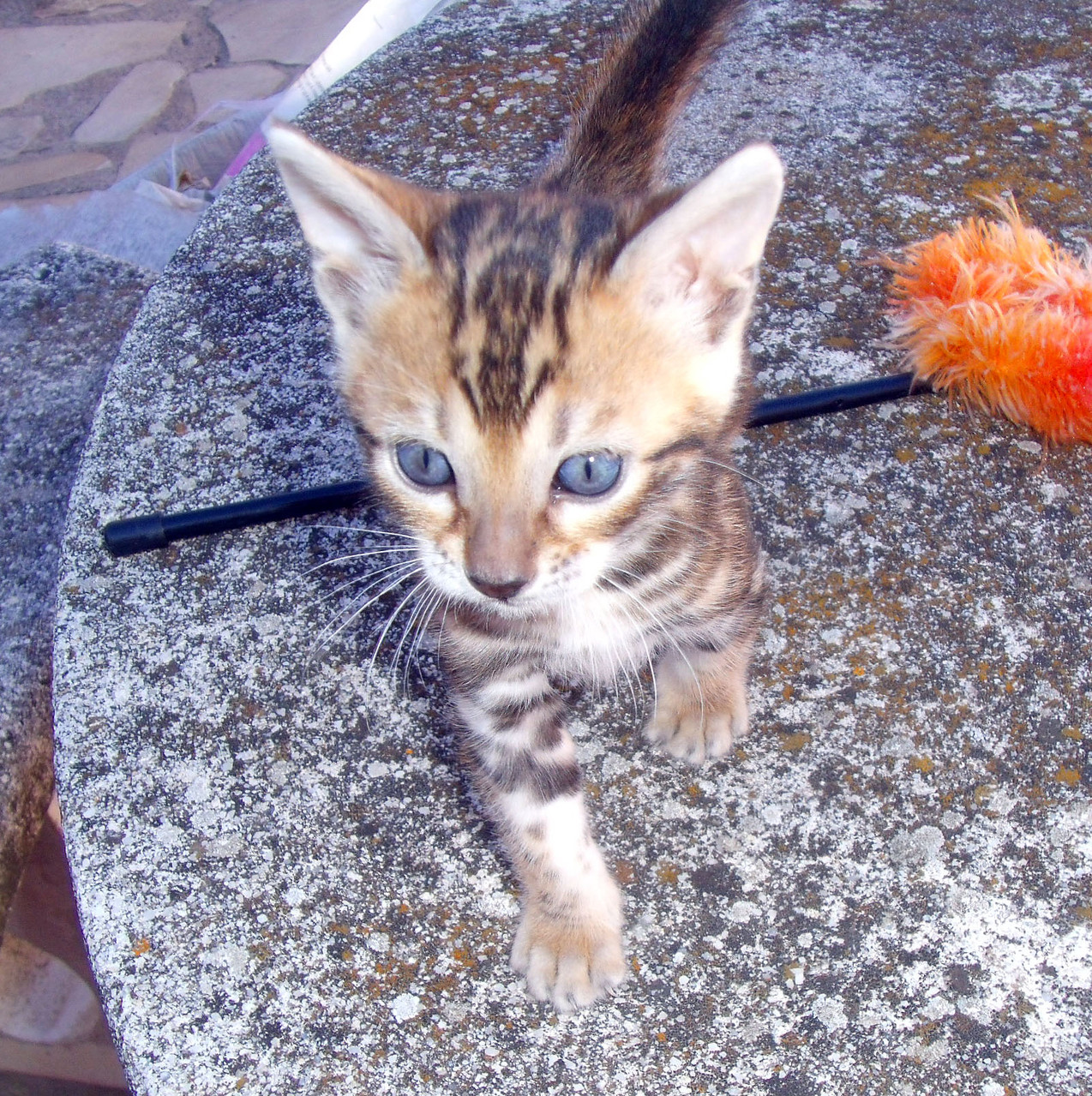 Manekineko juliette has a gun bengal female 3 months