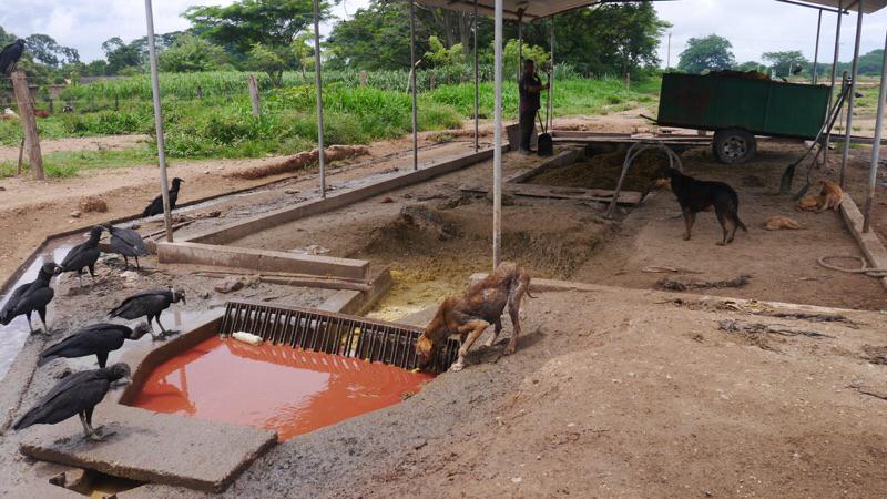 Aguas residuales en matadero (rastro, frigoríficos, camales) se aprovechan en biodigestores