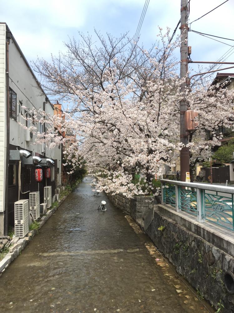 高瀬川の桜 とても綺麗ですね✨