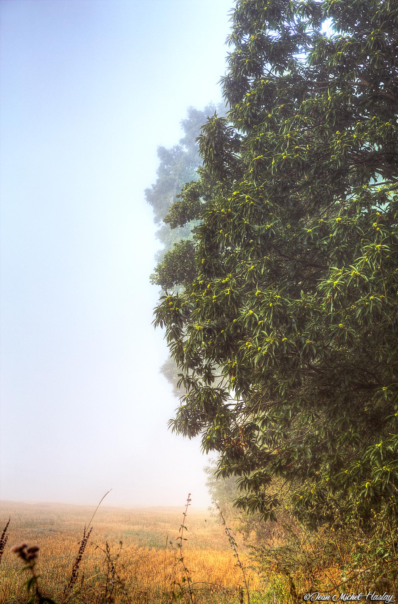 Un chataignier dans la brume