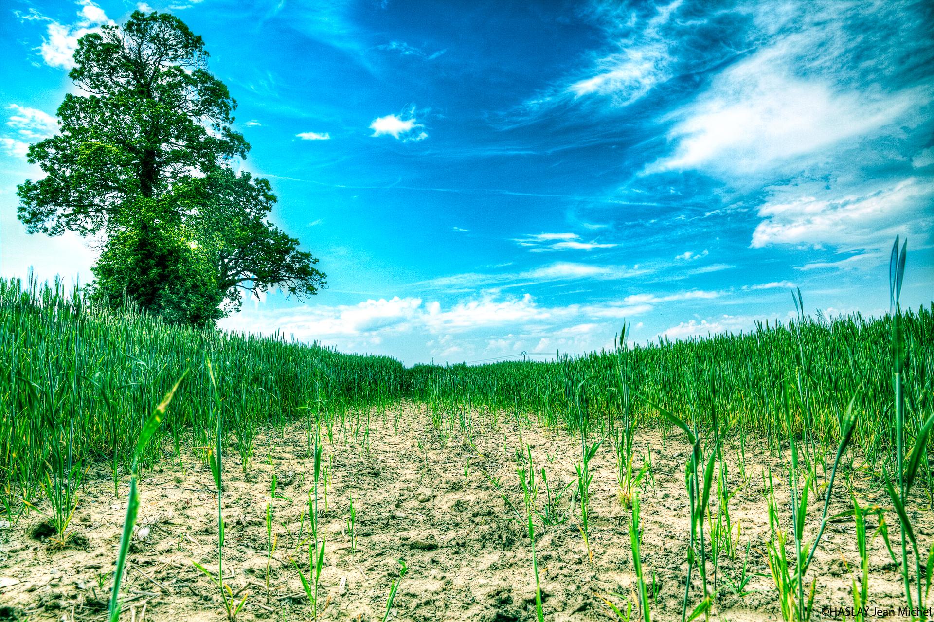 Champ de blé au Plessix