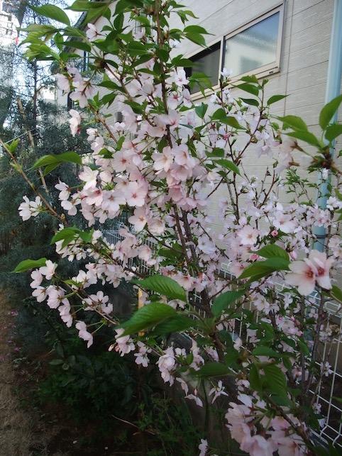 2014.04.12 植栽も咲きました.
