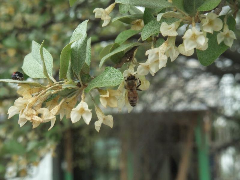 2016.04.16 敷地内のグミの木とハチとてんとう虫.毎年楽しみです!