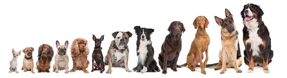 Van klein tot groot, van pup tot senior; iedere hond kan mee met de individuele uitlaatservice