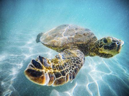Wasserschildkröte schwimmt unter Wasser