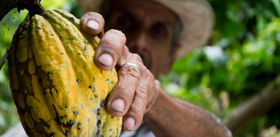 Ein Mann pflückt in Kolumbien die Frucht eines Kakaobaumes. (Quelle: pixabay)